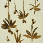 Ophrys ferrum equinum Desf subsp gottfriediana
